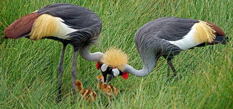 Fotoreise_Fotosafari_Fotoworkshop_Benny-Rebel_Afrika_Tansania_001_Kronenkranisch
