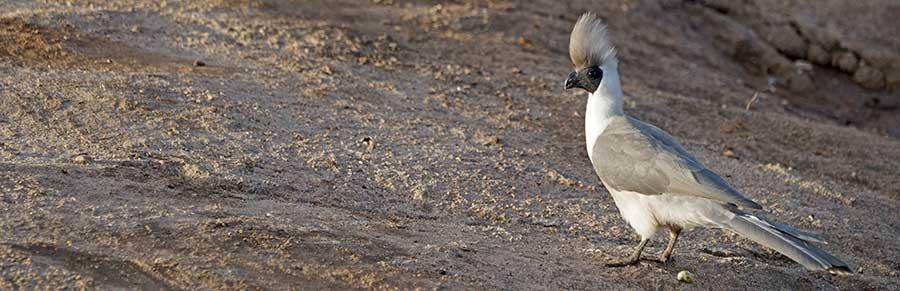 Fotoreise_Fotosafari_Fotoworkshop_Benny-Rebel_Afrika_Tansania_006_Nacktkehl-Laermvogel