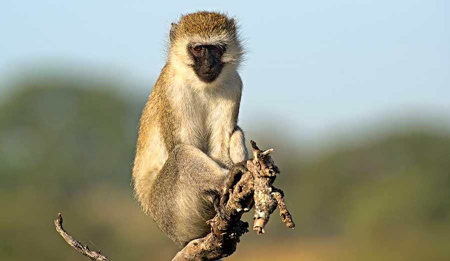 Fotoreise_Fotosafari_Fotoworkshop_Benny-Rebel_Afrika_Tansania_008_Gruene-Meerkatze