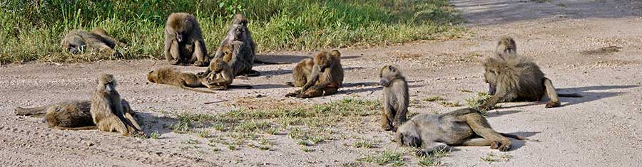 Fotoreise_Fotosafari_Fotoworkshop_Benny-Rebel_Afrika_Tansania_011_Pavian