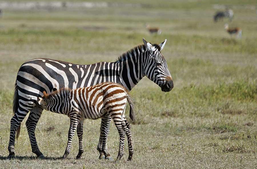 Fotoreise_Fotosafari_Fotoworkshop_Benny-Rebel_Afrika_Tansania_017_Zebra