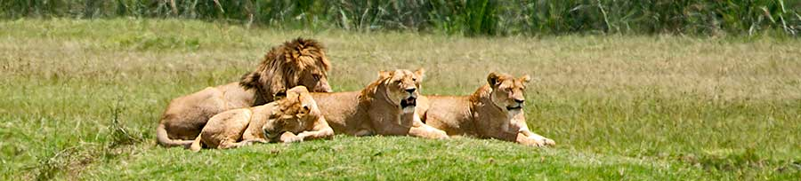 Fotoreise_Fotosafari_Fotoworkshop_Benny-Rebel_Afrika_Tansania_024_Loewe