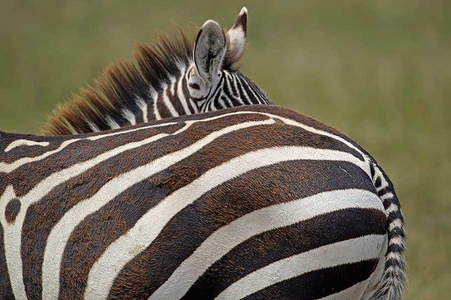 Fotoreise_Fotosafari_Fotoworkshop_Benny-Rebel_Afrika_Tansania_026_Zebra