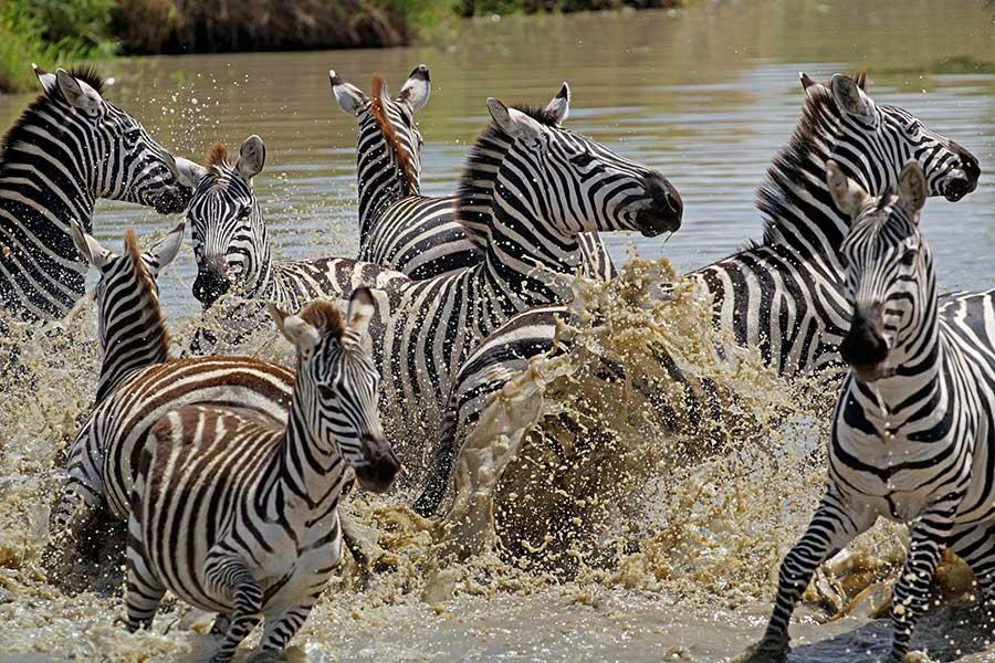Fotoreise_Fotosafari_Fotoworkshop_Benny-Rebel_Afrika_Tansania_032_Zebra