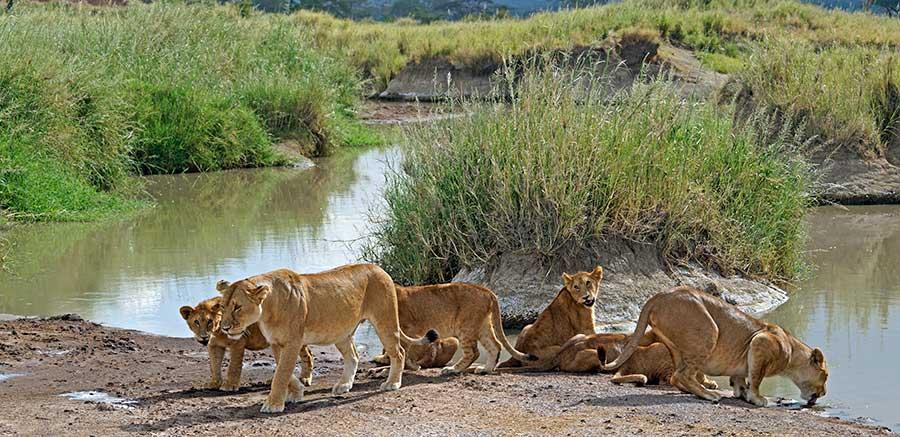 Fotoreise_Fotosafari_Fotoworkshop_Benny-Rebel_Afrika_Tansania_034_Loewe
