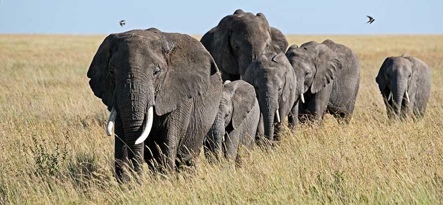 Fotoreise_Fotosafari_Fotoworkshop_Benny-Rebel_Afrika_Tansania_038_Elefant
