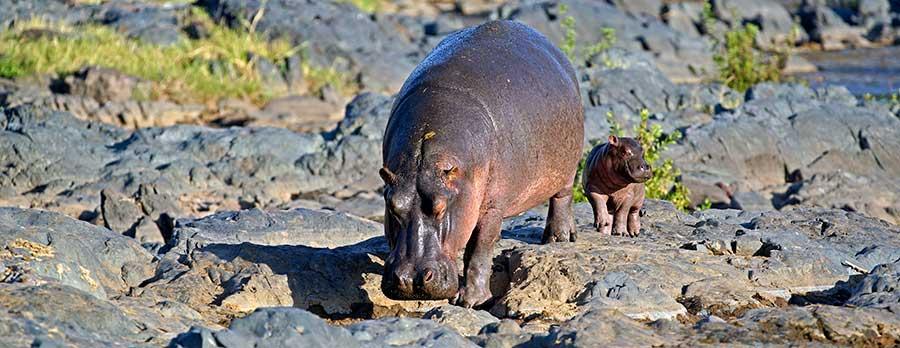 Fotoreise_Fotosafari_Fotoworkshop_Benny-Rebel_Afrika_Tansania_041_Flusspferd