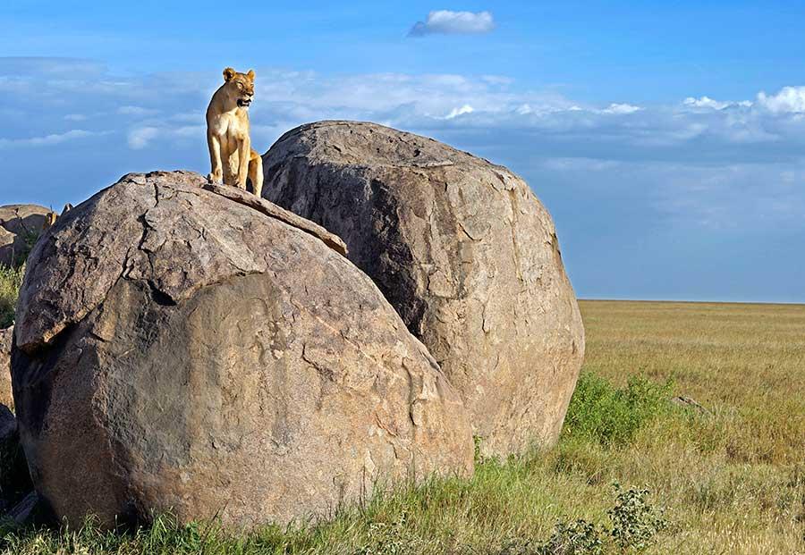 Fotoreise_Fotosafari_Fotoworkshop_Benny-Rebel_Afrika_Tansania_044_Loewe