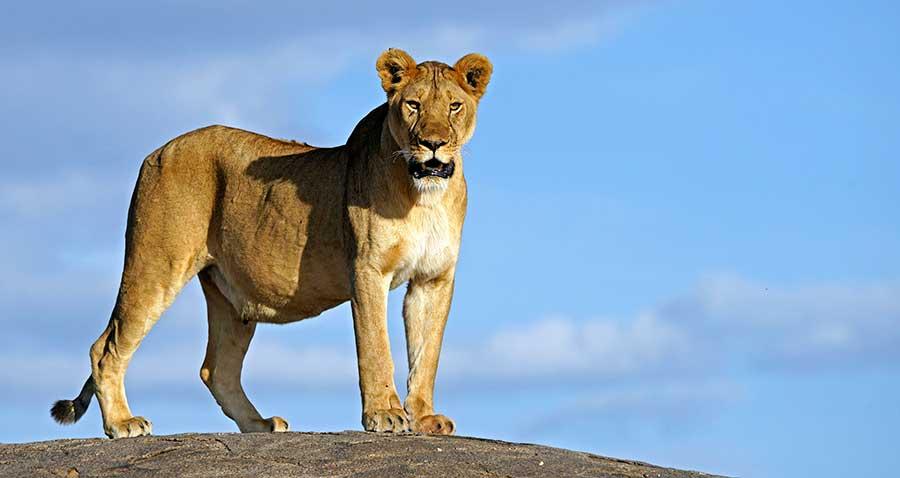 Fotoreise_Fotosafari_Fotoworkshop_Benny-Rebel_Afrika_Tansania_045_Loewe