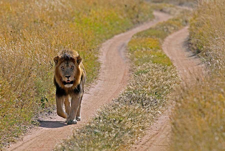 Fotoreise_Fotosafari_Fotoworkshop_Benny-Rebel_Afrika_Tansania_047b_Loewe
