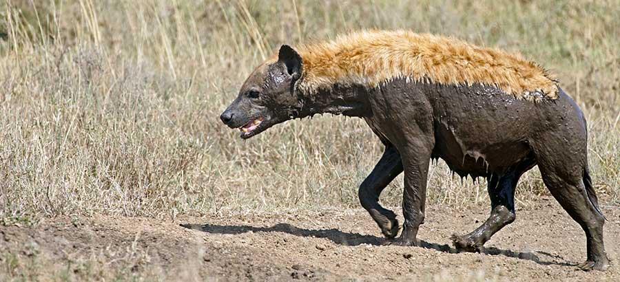 Fotoreise_Fotosafari_Fotoworkshop_Benny-Rebel_Afrika_Tansania_051_Hyaene