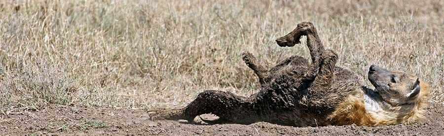 Fotoreise_Fotosafari_Fotoworkshop_Benny-Rebel_Afrika_Tansania_052_Hyaene