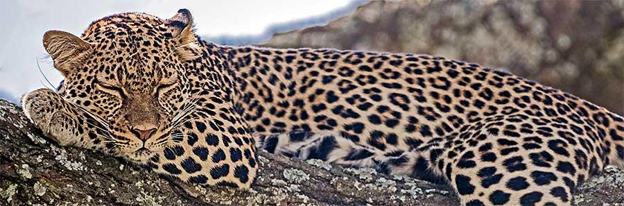 Fotoreise_Fotosafari_Fotoworkshop_Benny-Rebel_Afrika_Tansania_055_Leopard
