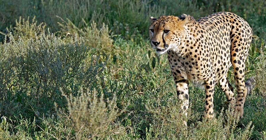 Fotoreise_Fotosafari_Fotoworkshop_Benny-Rebel_Afrika_Tansania_056_Gepard