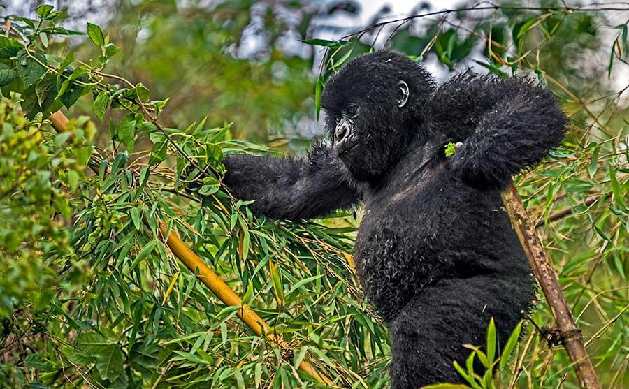 Fotoreise_Fotosafari_Fotoworkshop_Benny-Rebel_Afrika_Z-Ruanda_061_Gorilla