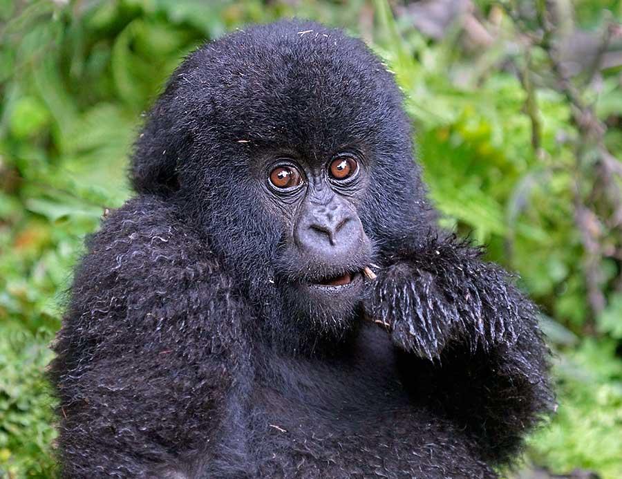 Fotoreise_Fotosafari_Fotoworkshop_Benny-Rebel_Afrika_Z-Ruanda_063_Gorilla
