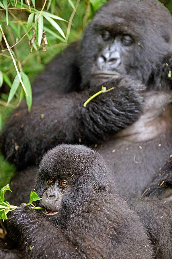 Fotoreise_Fotosafari_Fotoworkshop_Benny-Rebel_Afrika_Z-Ruanda_065_Gorilla