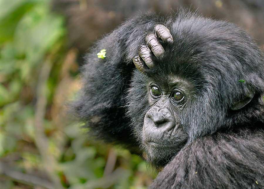Fotoreise_Fotosafari_Fotoworkshop_Benny-Rebel_Afrika_Z-Ruanda_071_Gorilla