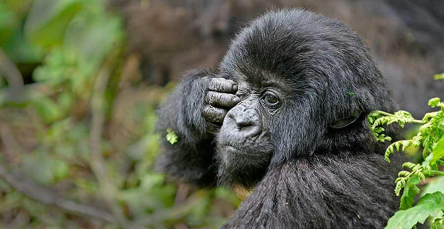 Fotoreise_Fotosafari_Fotoworkshop_Benny-Rebel_Afrika_Z-Ruanda_072_Gorilla