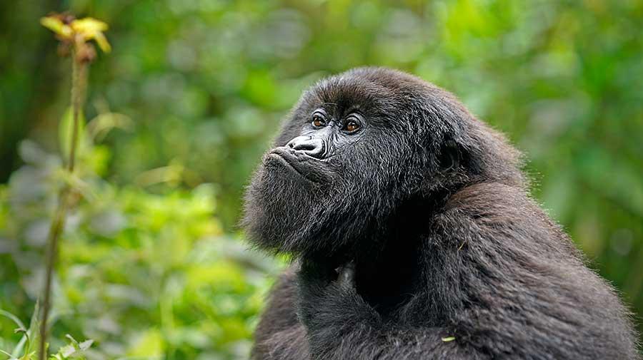 Fotoreise_Fotosafari_Fotoworkshop_Benny-Rebel_Afrika_Z-Ruanda_073_Gorilla
