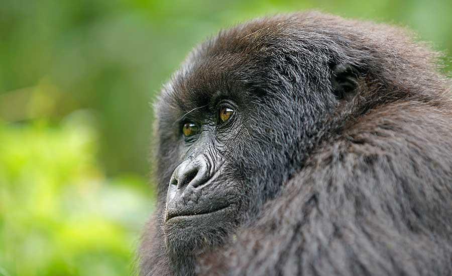 Fotoreise_Fotosafari_Fotoworkshop_Benny-Rebel_Afrika_Z-Ruanda_074_Gorilla