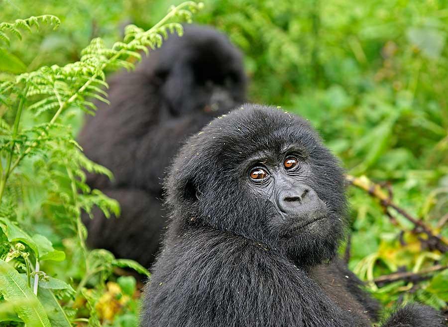 Fotoreise_Fotosafari_Fotoworkshop_Benny-Rebel_Afrika_Z-Ruanda_075_Gorilla