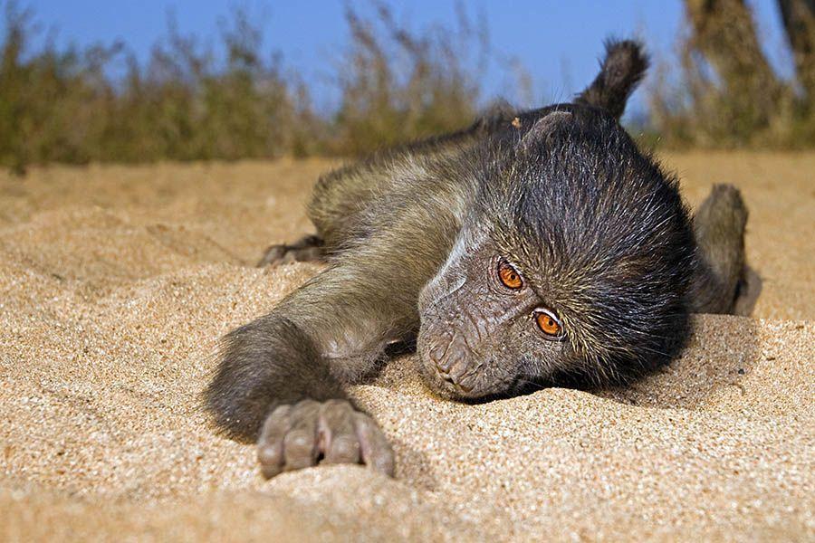 (Pavian-Baby fotografiert mit 35mm)