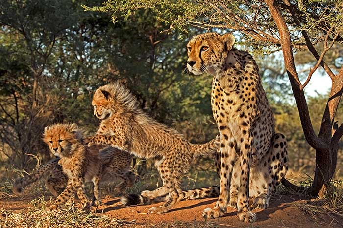 Gepard, Cheetah, Acinonyx jubatus; Jungtier, Baby, Pup; Saeugetier, Mammal; Suedafrika, South Africa; Tshukudu Game Reserve, Mutter, Mother