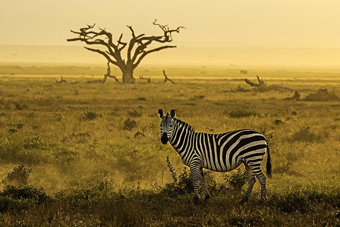 Fotoreise-Kenia-Zebra-1