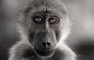 Fotoreise_01_Pavian_Fotosafari_Afrika_Benny_Rebel