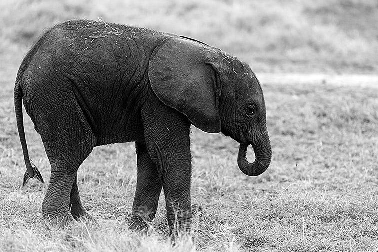 Elefant-Lake-Amboseli-Fotoreise-Fotosafari_SW-Afrika_DSC4203