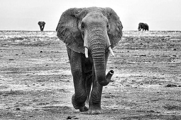 Elefant-Lake-Amboseli-Fotoreise-Fotosafari_SW-Afrika_DSC4305