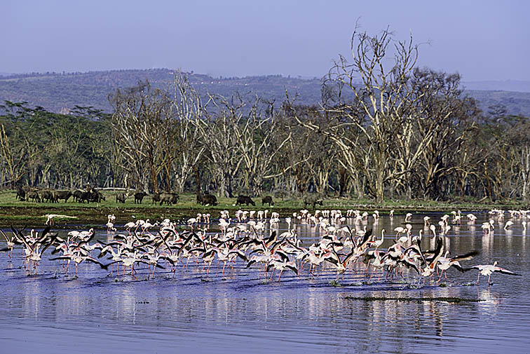 Flammingo-Lake-Nakuru-Fotoreise-Fotosafari-Afrika_DSC5070