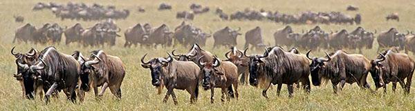 Fotoreise_Fotosafari_Fotoworkshop_Benny-Rebel_Afrika_Tansania_029_Gnu