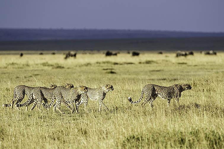 Geparde-Masai-Mara-Fotoreise-Fotosafari_Kenia-DSC5261