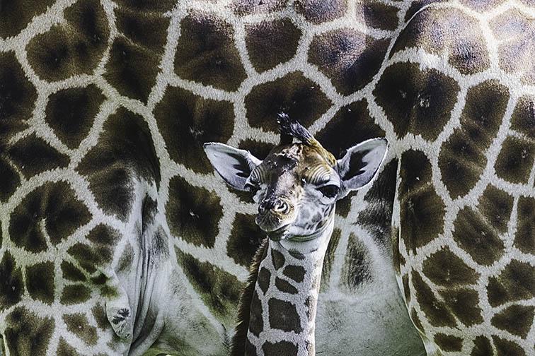 Giraffe-Lake-Nakuru-Fotoreise-Fotosafari_Afrika_DSC5164