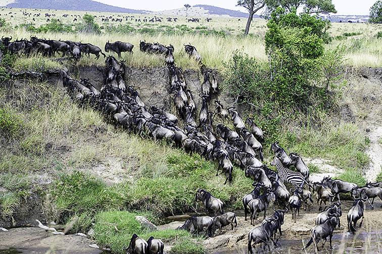 Migration-Masai-Mara-Fotoreise-Fotosafari_Kenia_DSC5920