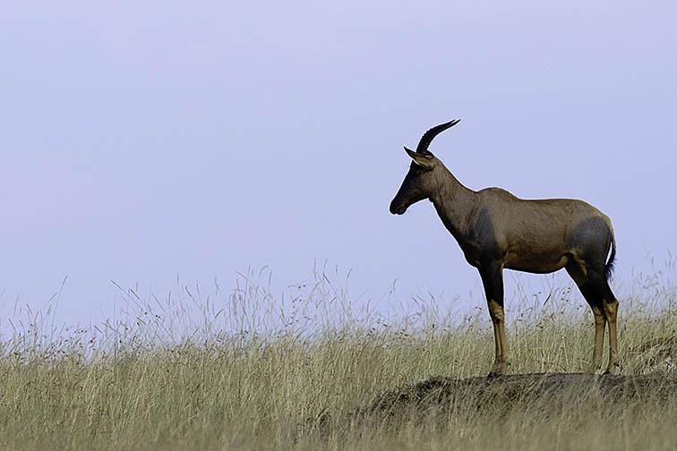 Topi-Masai-Mara-Fotoreise-Fotosafari_Kenia_DSC6285