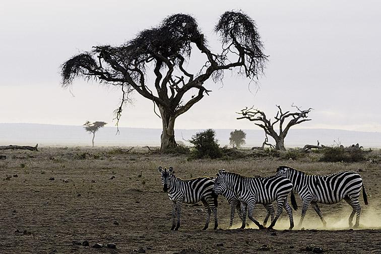 Zebra-Lake-Amboseli-Fotoreise-Fotosafari_SW-Afrika_DSC5659
