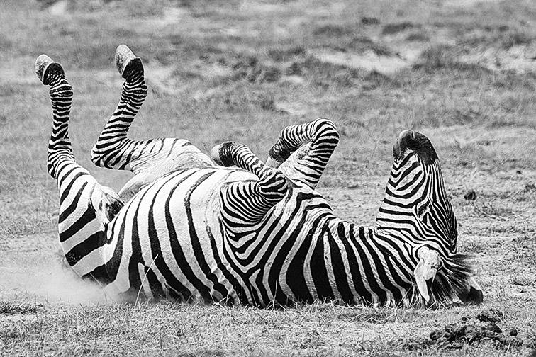 Zebra-Lake-Amboseli-Fotoreise-Fotosafari_SW-_DSC5608